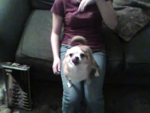 My Chihuahua is Obsessed with ME!!!